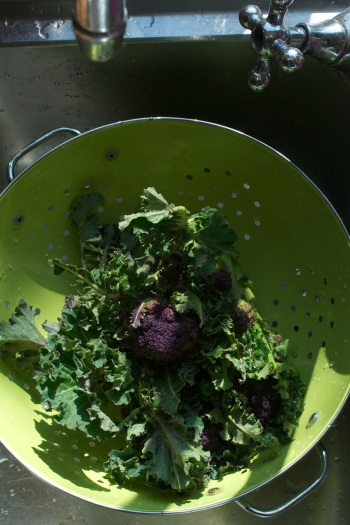 sprouting in colander