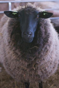 Ewe at Trealy farm