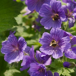 Bees and Geraniums