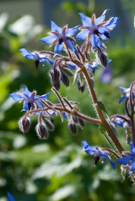 Borage shows its true colours