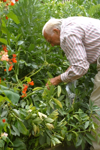 Picking Runner Beans