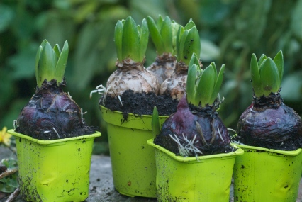 Hyacinths from the garden centre