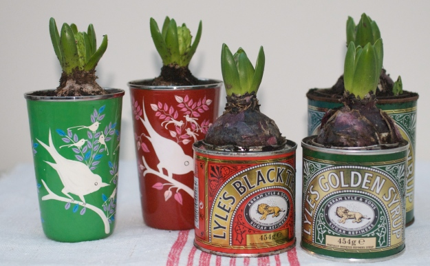Potted Hyacinths