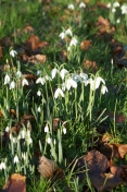 The first snowdrops