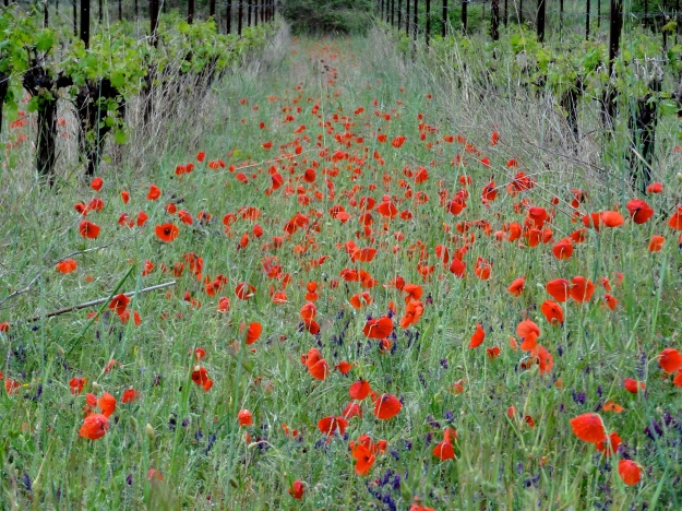 Languedoc Vines and Poppies