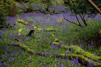 Priors Wood Bluebells