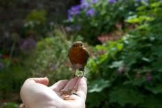 Feeding the Robin