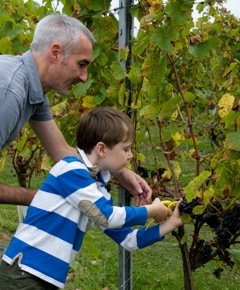 Picking Dunleavy Grapes