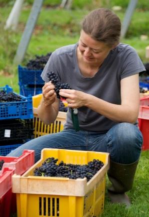 Ingrid inspecting Pinot Noir grapes