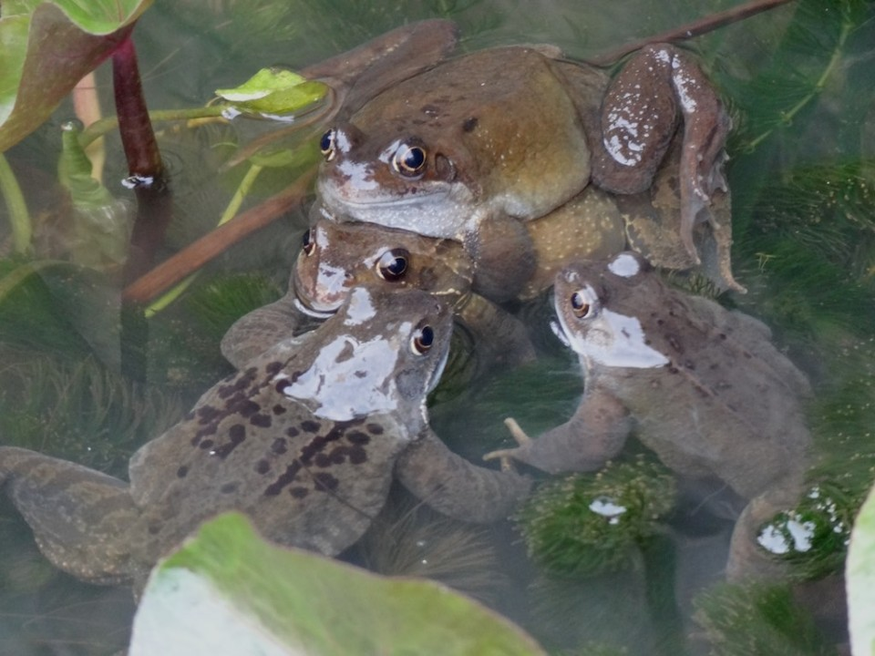 Frogs porn!