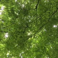 Beech trees - jenny chandler blog